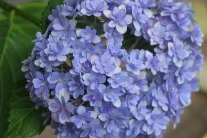 盛り紫陽花
