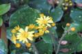 斑入りふきの花