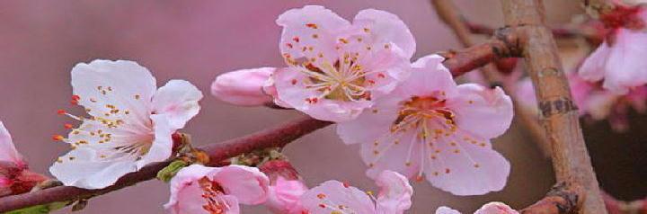 桃の花33