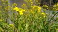 菜の花FF