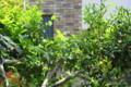 椿の新芽5