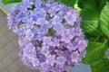 紫陽花77