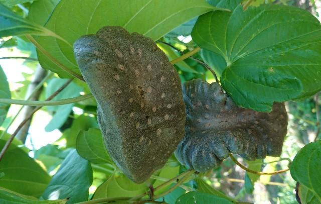 宇宙芋 収穫時期へ向けてスパート中、珍しい宇宙芋の花も咲き