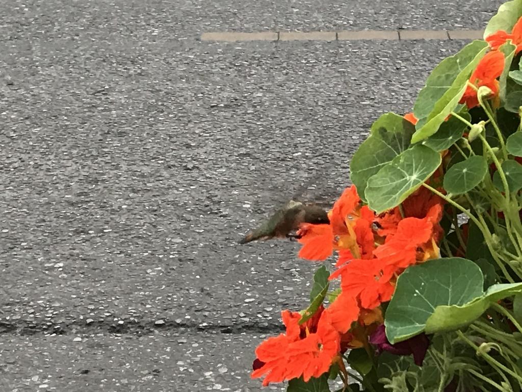 カナダのハチドリ