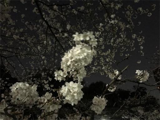神田川沿いの桜3月27日