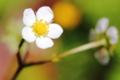 [花]ワイルドストロベリー