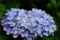[花][紫陽花]