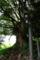 静岡県函南町 春日神社 大楠 (推定樹齢八百五十年)