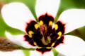 [花]スパラキシス(白)