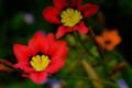 [花]スパラキシス(赤)