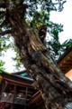 鎌倉市天然記念物 鶴岡八幡宮の柏槙