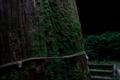 [神社][巨木]伊東市 八幡宮来宮神社 御神木 大杉(2)