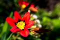 [花]あかいスパラキシス