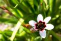 [花]しろいスパラキシス