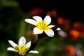 [花]これもスパラキシス
