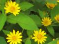 黄色い花 (名前は知らない)