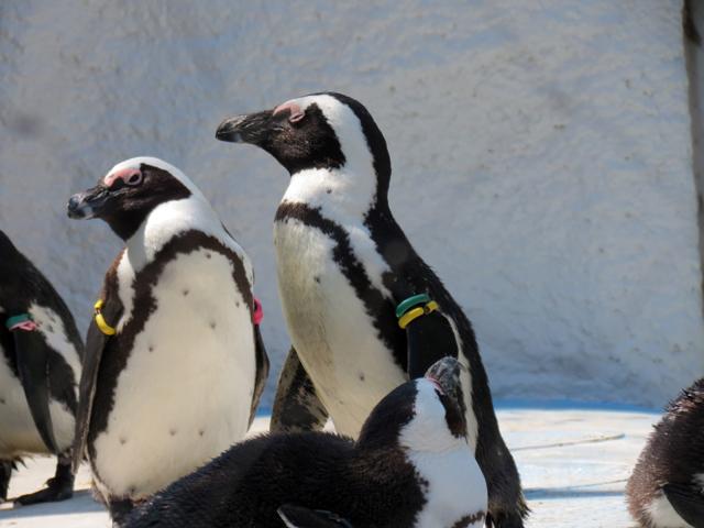 上野動物園 ケープペンギン