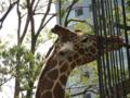 上野動物園 アミメキリン