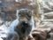 上野動物園 マヌルネコ 精悍な顔立ち