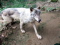 群馬サファリパーク オオカミ