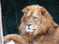 群馬サファリパーク ライオン