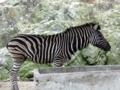 群馬サファリパーク シマウマ