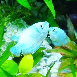 f:id:moti_aquarium:20210407220010j:plain