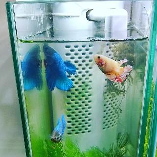 f:id:moti_aquarium:20210801064158j:plain