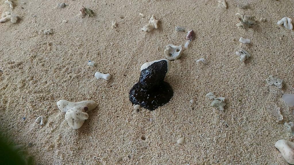 珊瑚に付着したオイルボール