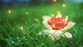 FRose Lotus