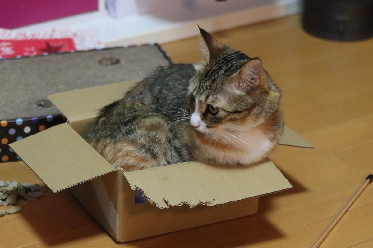 箱に入る虎春