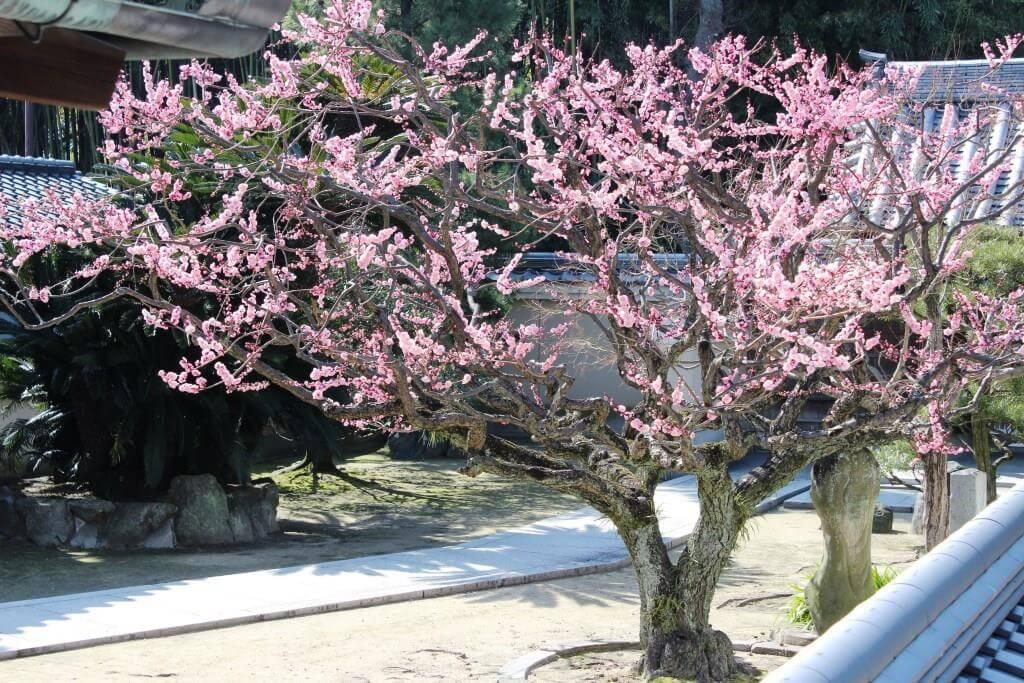 見事な梅の写真