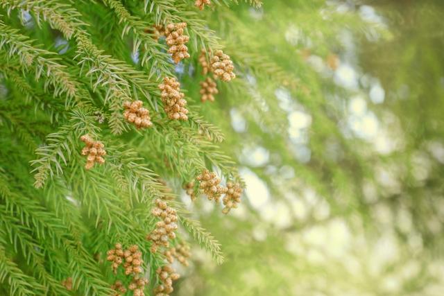 杉の木から花粉が飛ぶ様子