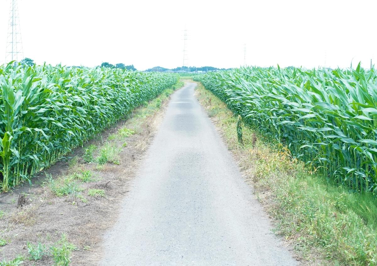 道 トウモロコシ畑