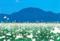 東根山「カタクリ」の群生