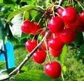 「さくらんぼ」は、別名「桜桃(おうとう)」