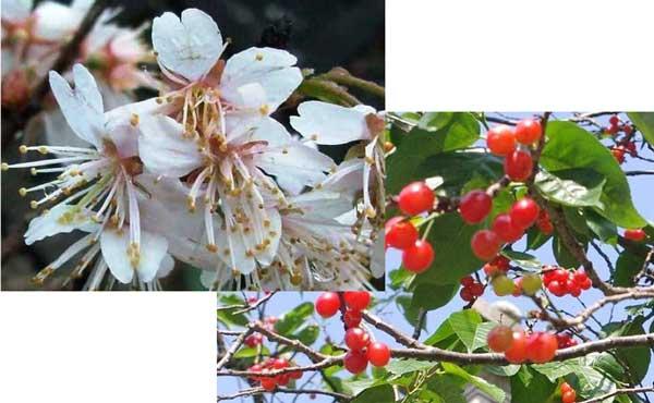 「カラミザクラ(唐実桜)」