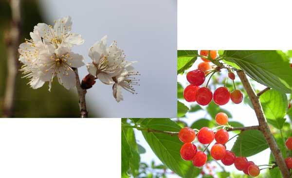 「セイヨウミザクラ(西洋実桜)」