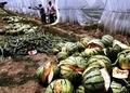 農薬の入れ過ぎで爆発した中国のすいか