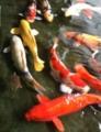 ちびイシ錦鯉に翻弄されるの図