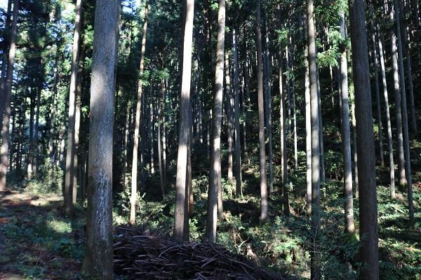乙女滝への道中は杉だらけ