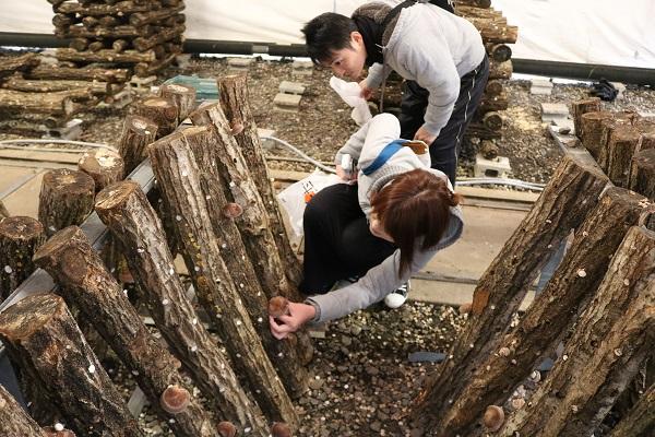 道の駅平成で原木しいたけ狩り体験