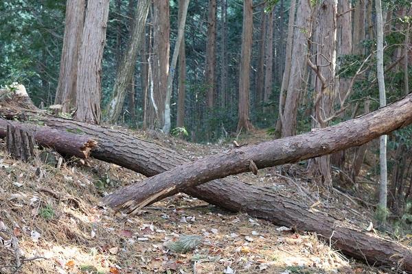 平洞遊歩道のエックス倒木