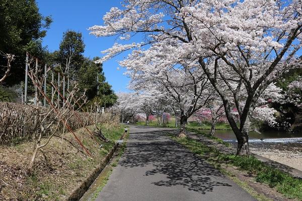 道の駅平成向かい側川沿いの桜並木