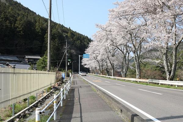 県道58号線沿いの桜並木