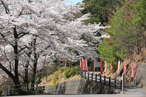 高澤観音参拝道入口の桜