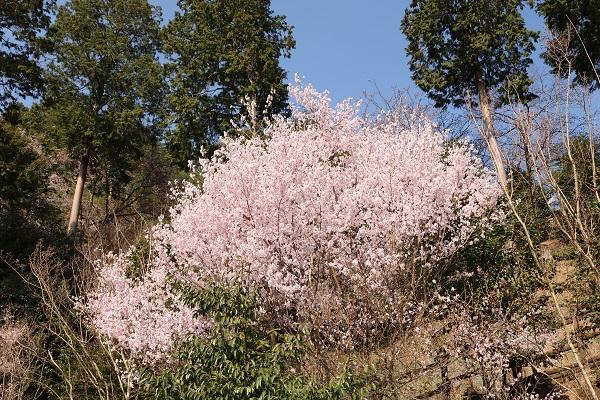 高澤観音大駐車場斜面の桜