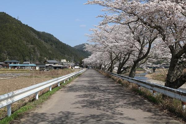 水成川沿いの桜並木