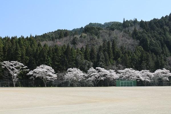津保川中学校グラウンドの桜並木