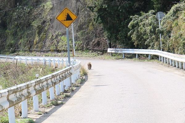 水成川沿いを歩くサル